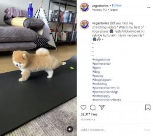足を伸ばしヨガのポーズを決めるヴェガス(画像は『Vegas The Pomeranian 2020年11月4日付Instagram「Did you miss my stretching videos? 」』のスクリーンショット)