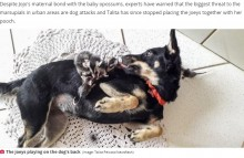 孤児のオポッサム7匹、ママ代わりのメス犬にしがみつく(ブラジル)
