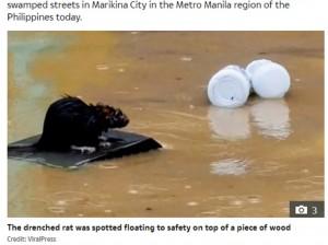 微動だにせず濁流を流れていったネズミ(画像は『The Sun 2020年11月17日付「RATA-TO-FLEE Brilliant moment rat SURFS to freedom on piece of wood as Typhoon Vamco devastates the Philippines」(Credit: ViralPress)』のスクリーンショット)