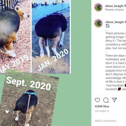 【海外発!Breaking News】体重40キロから17キロへ 歩くのもやっとだったビーグル犬が半分以下の減量に成功(米)<動画あり>