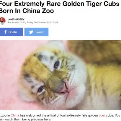 【海外発!Breaking News】非常に珍しい黄金の虎「ゴールデンタビータイガー」の四つ子が誕生(中国)