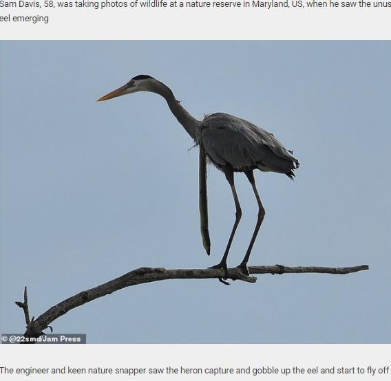 ウミヘビをぶら下げたまま木にとまるサギ(画像は『Daily Star Post 2020年11月5日付「Swallowed eel manages to burrow its way out of a heron's throat mid-air to reclaim its freedom」(@22smd/Jam Press)』のスクリーンショット)
