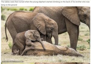 兄の上に登って遊ぶ子ゾウ(画像は『WhatsNew2Day 2020年12月17日付「Baby elephant appears to be rolling on the floor with laughter while his big brother tickles his belly」(Lee-Anne Robertson / CATERS NEWS)』のスクリーンショット)