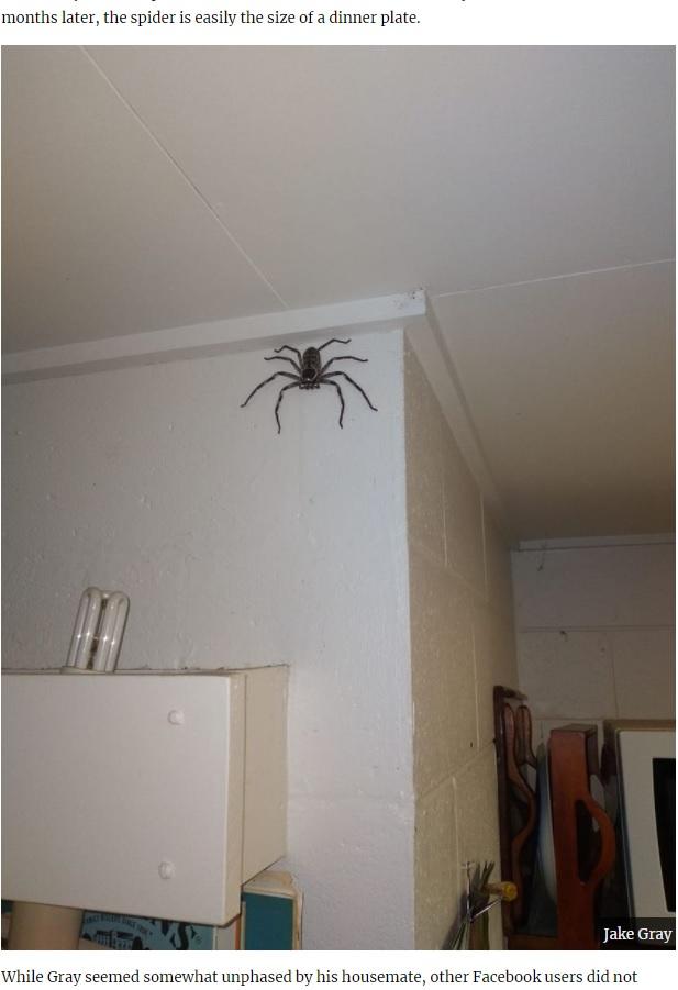 信じ難いサイズにまで成長したシャーロット(画像は『UNILAD 2020年11月27日付「Man Lets Giant Huntsman Spider Live In His Home For A Year」(JAKE GRAY)』のスクリーンショット)