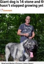 体重89キロ、後ろ足で立つと195センチのペット犬「まだまだ大きくなる」と飼い主(英)
