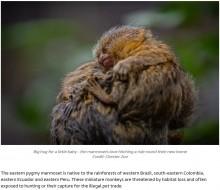 【海外発!Breaking News】体重10グラムで誕生したピグミーマーモセットの双子を家族全員で子育て イギリスの動物園で<動画あり>