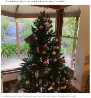 【海外発!Breaking News】クリスマスツリーに登り寛ぐコアラ 帰宅した住民も仰天「ぬいぐるみかと思った」(豪)<動画あり>