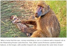 【海外発!Breaking News】珍しくも切ない光景 ヒョウの赤ちゃんに優しく毛づくろいをする野生ヒヒ(南ア)<動画あり>