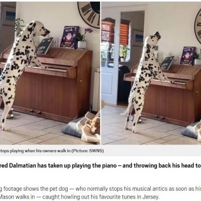 【海外発!Breaking News】飼い主が見ていない隙に、ピアノを弾いて歌うダルメシアン(英)<動画あり>