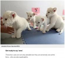 【海外発!Breaking News】ホワイトライオンの四つ子が中国の動物園でお披露目 絶滅危惧種としての認知度向上に期待