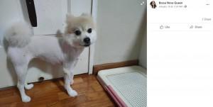 痛々しいディディ(画像は『Bossa Nova Queen 2021年1月10日付Facebook「My female Pomeranian dede was having grooming with precious pets groomer this morning at 10am.」』のスクリーンショット)