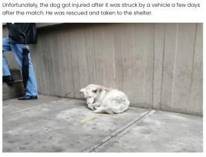車に轢かれて怪我をしたカチート(画像は『Elite Readers 2021年1月5日付「Bolivian Soccer Player Adopts Stray Dog Who Interrupts Match」』のスクリーンショット)