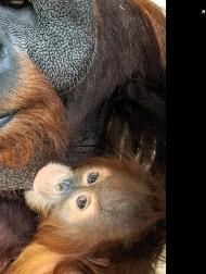 【海外発!Breaking News】急死したメスに代わり子育てするオス オランウータンでは「珍しい」と動物園(米)