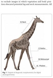 """脚の長さが極端に短い""""小人症""""のキリン(画像は『Springer LINK BMC Research Notes 2020年12月30日付「Skeletal dysplasia-like syndromes in wild giraffe」(Michael Butler Brown and Emma Wells)』のスクリーンショット)"""