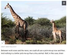 """【海外発!Breaking News】世界初か """"小人症""""のキリンがウガンダとナミビアで発見される"""