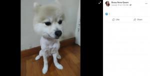 頭を残して丸刈りにされたディディ(画像は『Bossa Nova Queen 2021年1月10日付Facebook「My female Pomeranian dede was having grooming with precious pets groomer this morning at 10am.」』のスクリーンショット)