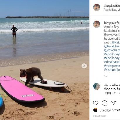 【海外発!Breaking News】ビーチで海水浴を楽しむコアラ、保護活動家も驚く「なぜこの海岸に?」(豪)<動画あり>