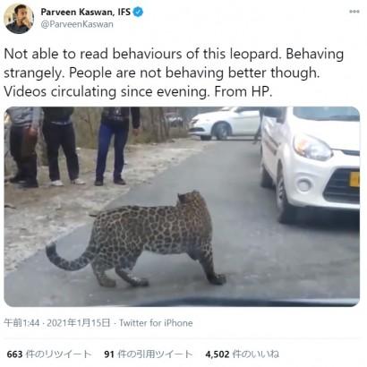 【海外発!Breaking News】人懐っこい野生のヒョウに驚きの声「変なものでも食べたのか?」(印)<動画あり>