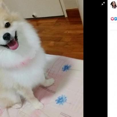 【海外発!Breaking News】ポメラニアンを「小さな柴犬のように」とグルーマーに頼んだ飼い主、仕上がりに唖然(シンガポール)