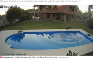 【海外発!Breaking News】プールで溺れる盲目のピットブルを助けた仲良し犬(アルゼンチン)<動画あり>