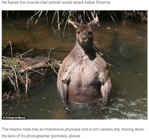 【海外発!Breaking News】散歩中に筋肉ムキムキのカンガルーに遭遇した男性「これは強そう」と後ずさり(豪)