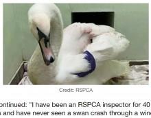 【海外発!Breaking News】白鳥が二重の窓ガラスを突き破って侵入 保護した専門家も「勤務40年で初めてのケース」(英)