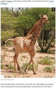 見た目は小さいが、今のところ健康に問題はないという(画像は『Travel + Leisure 2021年1月7日付「Take a Minute and Enjoy This Tiny Dwarf Giraffe Named Gimli」(CREDIT: EMMA WELLS/GCF)』のスクリーンショット)
