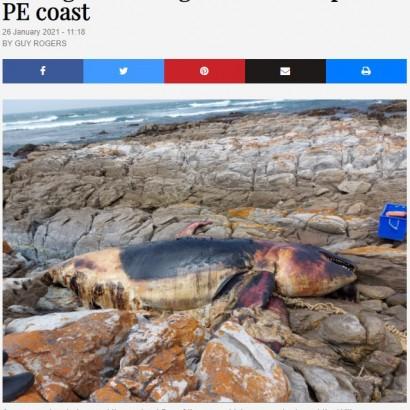 【海外発!Breaking News】人間が出したゴミの犠牲に ロープに絡まって溺れたシャチが打ち上がる(南ア)