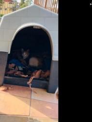 【海外発!Breaking News】出産間近の猫を自分の小屋に招き入れたピットブル その後一緒に過ごすように(メキシコ)
