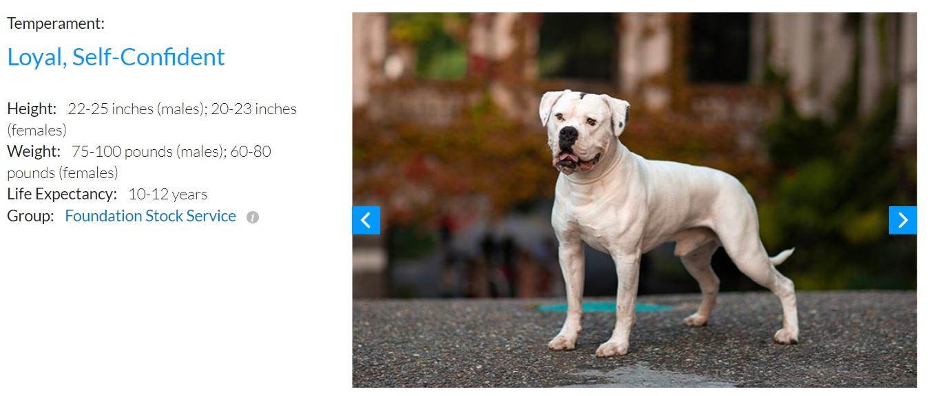 大きな個体で体重45キロほどになるというアメリカン・ブルドッグ(画像は『American Kennel Club 「American Bulldog」』のスクリーンショット)