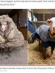【海外発!Breaking News】白い塊と化した野生の羊 毛を刈り取るとその重さは35キロに(豪)<動画あり>