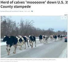 【海外発!Breaking News】牧場から逃げ出した75頭の牛が国道を激走 目撃者「牛たちの目は輝いていた」(米)<動画あり>