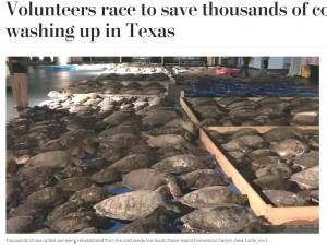 極度の寒さでこん睡してしまったウミガメたち(画像は『The Washington Post 2021年2月17日付「Volunteers race to save thousands of cold-stunned turtles washing up in Texas」(Sea Turtle, Inc.)』のスクリーンショット)