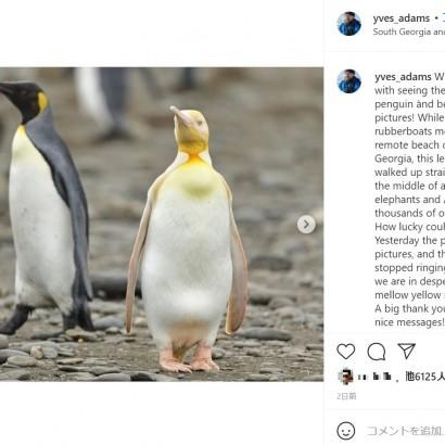 【海外発!Breaking News】黄色いオウサマペンギンが南大西洋の島で見つかる 撮影した写真家「約12万羽もの中に1羽だけだった」