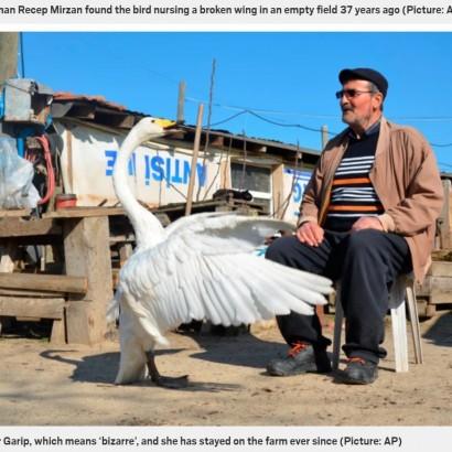 【海外発!Breaking News】ケガをして動けない白鳥を助けた男性 その後37年に渡り深い信頼関係を築く(トルコ)