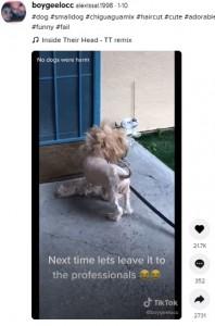まるでライオンのようになった犬(画像は『alexissal.1998 2021年1月10日付TikTok「#dog #smalldog #chiguaguamix #haircut」』のスクリーンショット)