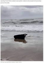 【海外発!Breaking News】100年に一度の大洪水で牛が流されてビーチに クモも集団で大移動(豪)<動画あり>