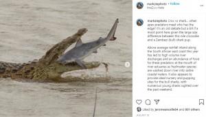 約10分もナイルワニに弄ばれていたサメ(画像は『Dr Mark Ziembicki 2021年1月19日付Instagram「Croc vs shark…」』のスクリーンショット)