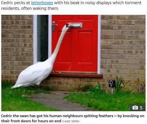 【海外発!Breaking News】玄関ドアをノックし続ける白鳥 家中に響き渡る音に住民困惑(英)<動画あり>