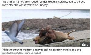 犬は何度もフレディに襲い掛かり、フレディは苦悶の表情を浮かべた(画像は『The Sun 2021年3月23日付「SEAL TRAGEDY Freddie Mercury the seal dies after being mauled by dog near River Thames where he entertained walkers for weeks」(Credit: Duncan Phillips)』のスクリーンショット)