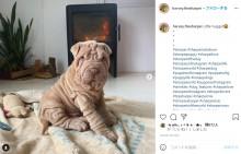 【海外発!Breaking News】しわしわで毛布のような犬 目が開けられなくなり、シワを縫って治療(スペイン)<動画あり>