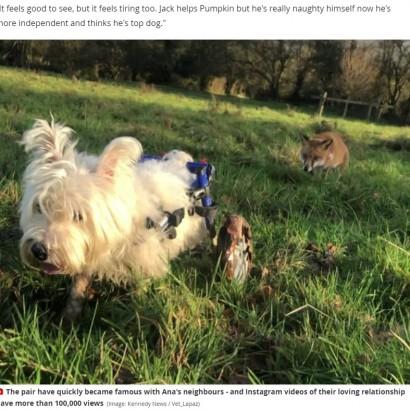 【海外発!Breaking News】車イスの犬と全盲のキツネ 兄妹のように支え合う(英)<動画あり>