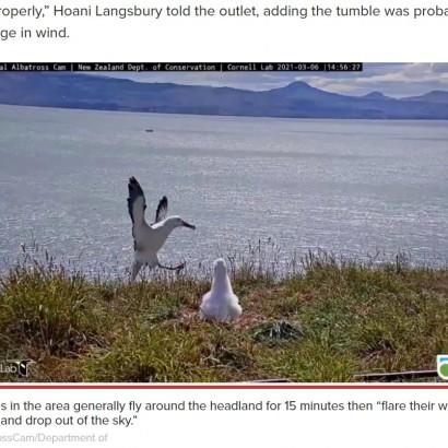 【海外発!Breaking News】着地に大失敗したアホウドリ「アニメみたいな転び方」に大笑い(ニュージーランド)<動画あり>