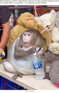 紐につながれ、3段腹のゴジラ(画像は『LADbible 2021年3月23日付「Monkey Is Severely Obese After Being Fed Junk Food By People In Market」(Credit: Viral Press)』のスクリーンショット)