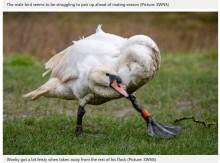【海外発!Breaking News】曲がった首を持つ白鳥、群れの中で孤立しつつもパートナーを探す(英)