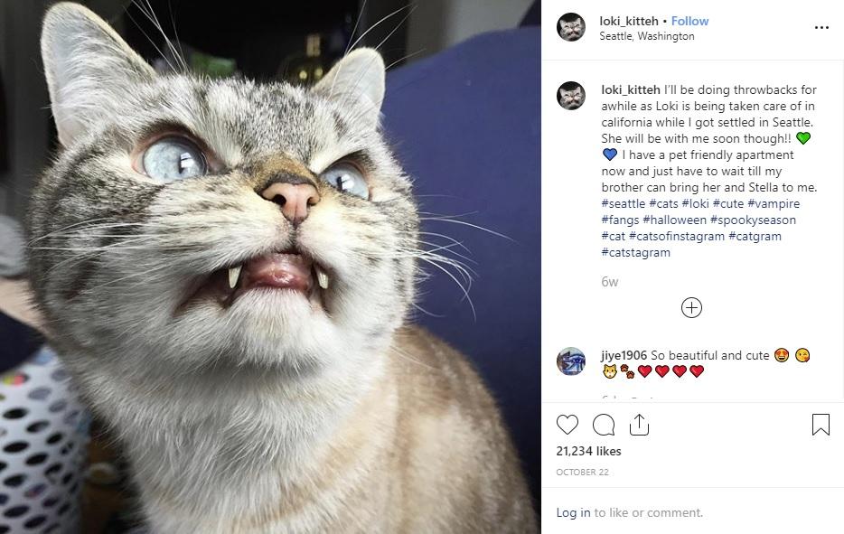 ヴァンパイアと呼ばれる猫(画像は『Loki 2019年10月22日付Instagram「I'll be doing throwbacks for awhile as Loki is being taken care of in california while I got settled in Seattle.」』のスクリーンショット)
