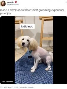 両耳の部分だけを残して丸刈りにされたベアー(画像は『yassmin 2021年4月27日付Twitter「made a tiktok about Bear's first grooming experience pls enjoy」』のスクリーンショット)