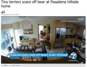 開いていたドアから侵入し、室内を物色するクマ(画像は『ABC7 KABC 2021年4月13日付「Tiny terriers scare off bear at Pasadena hillside home」』のスクリーンショット)