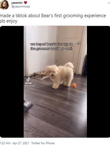 グルーミング前のゴールデンドゥードル(画像は『yassmin 2021年4月27日付Twitter「made a tiktok about Bear's first grooming experience pls enjoy」』のスクリーンショット)