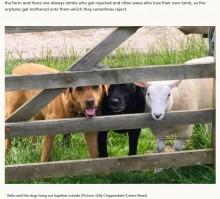 自分を犬と思い込む羊 遠くから群れを眺める姿に笑いの声(英)<動画あり>